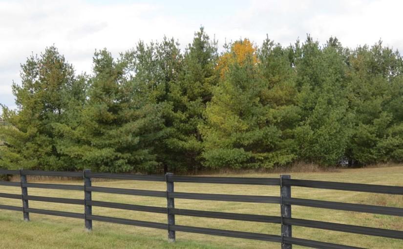 Los árboles de pino