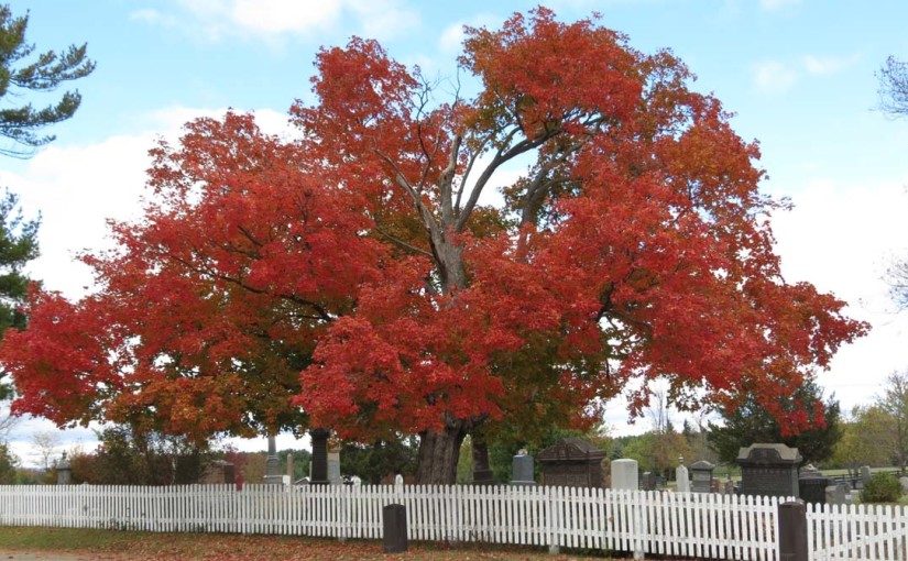 Large mature Red Maple Tree