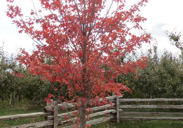 قرمز افرا درخت