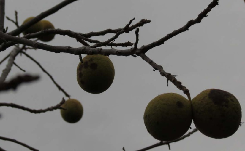Tree Black Walnuts