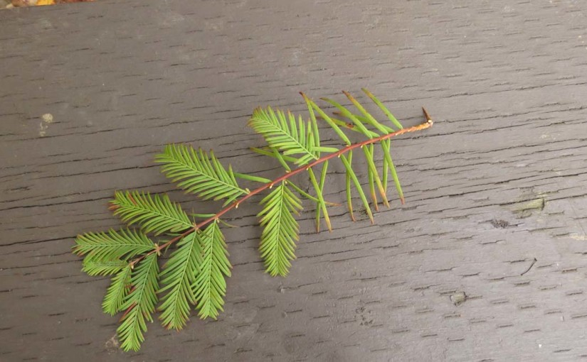 Dawn Redwood Branch