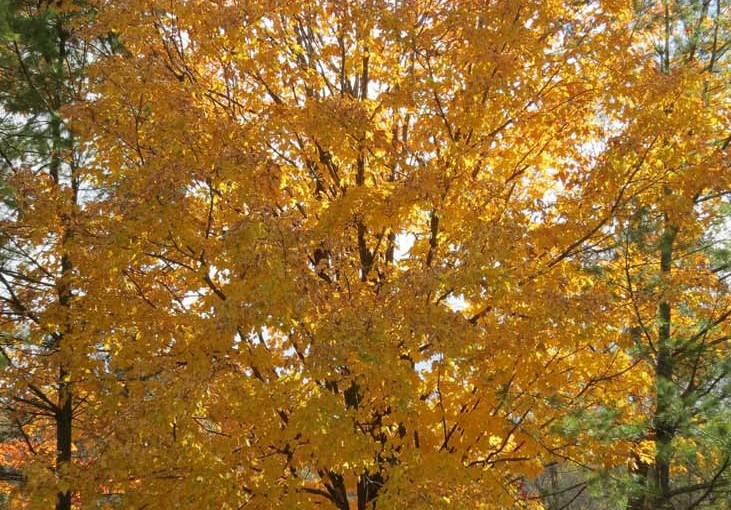 القيقب الأصفر الخريف