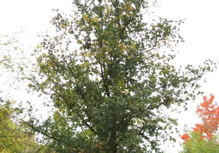 tre Oak