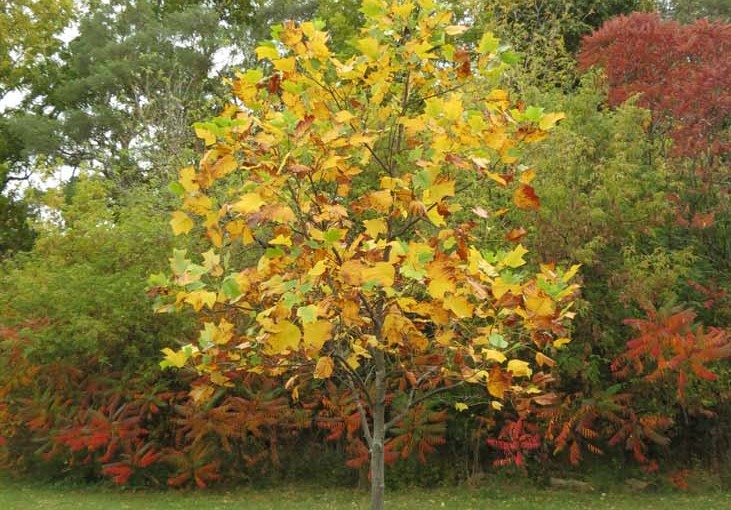 Tulip Tree in Fall