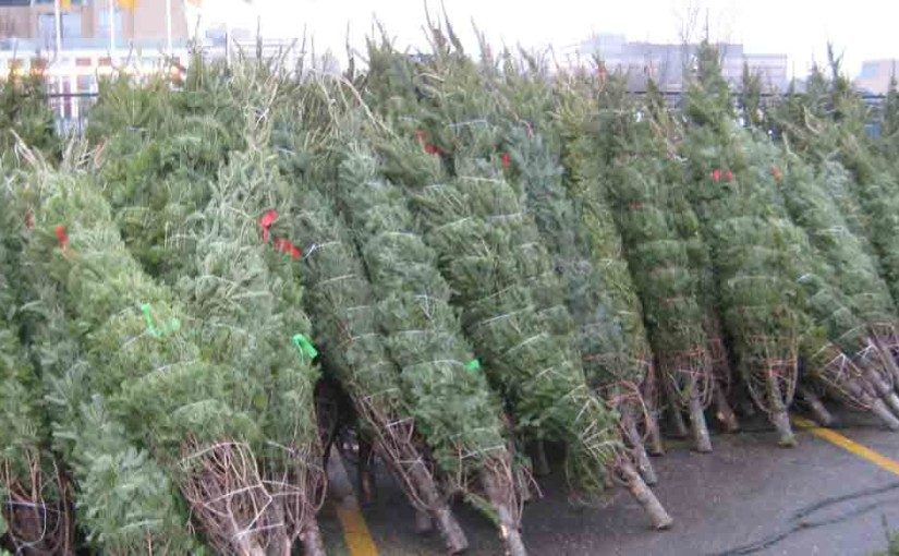 Christmas Trees Balsam Fir