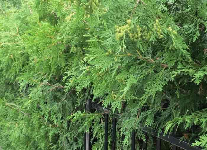 شجرة الأرز التحوط
