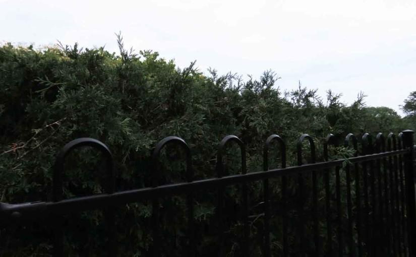 Hedge árboles de cedro