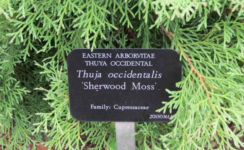 "الشرقية Arborvitae ""شيروود موس"""
