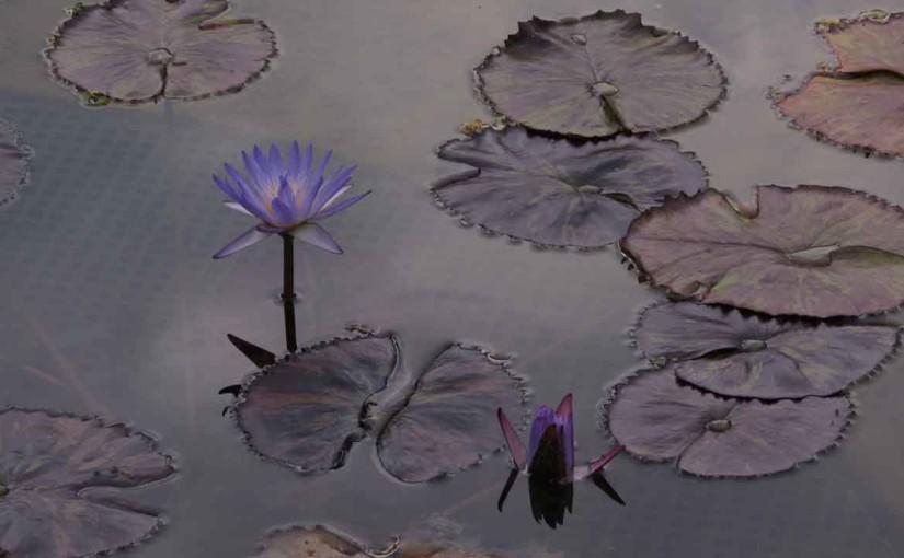 تصميم المناظر الطبيعية زنابق الماء