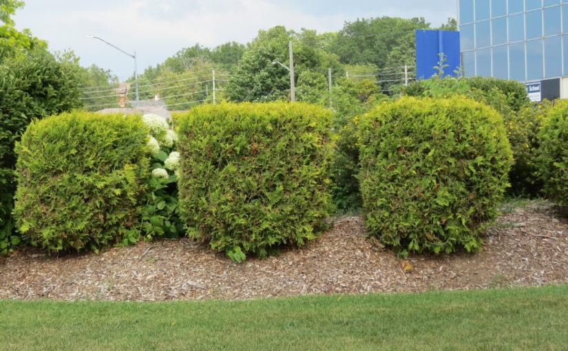 Trimmed Cedars