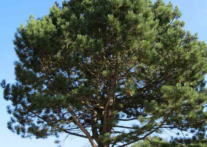 Photo of an Austrian Pine Tree