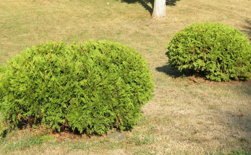 Globe Cedar Trees