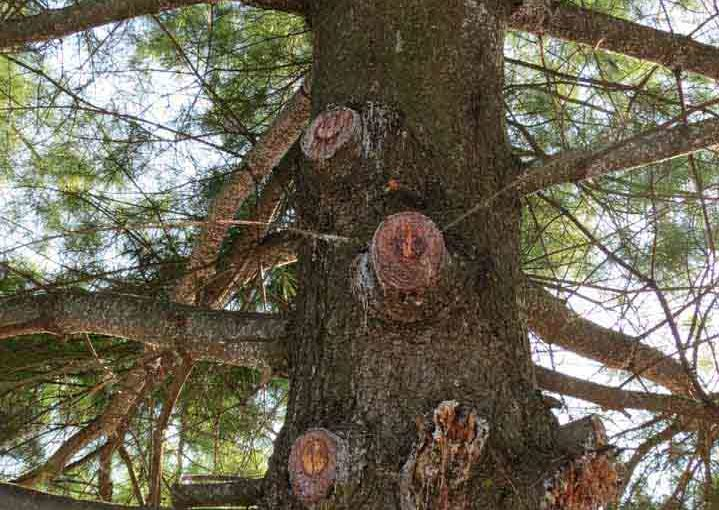 Nœuds Pine Sap