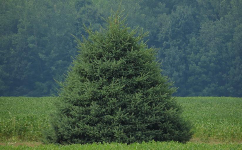 Рождественская ель ели
