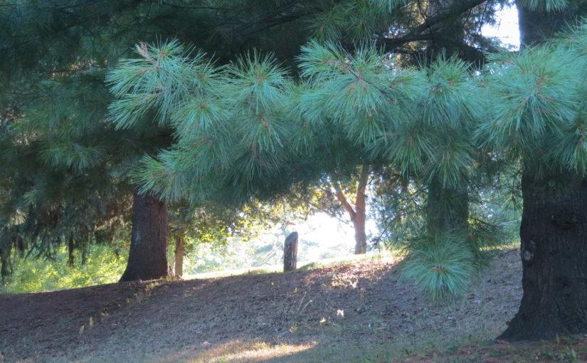 Arbre de pin blanc
