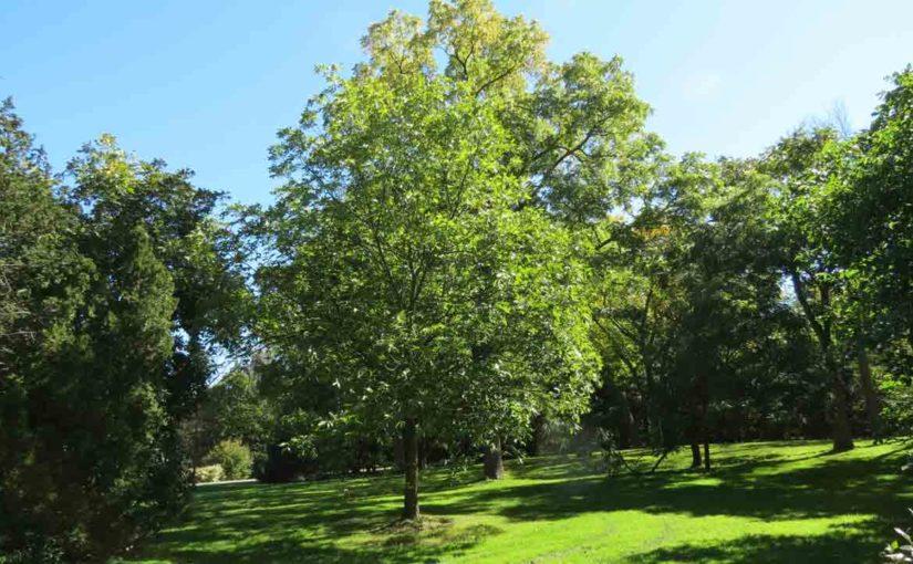 Hickory Tree Holden's Shagbark