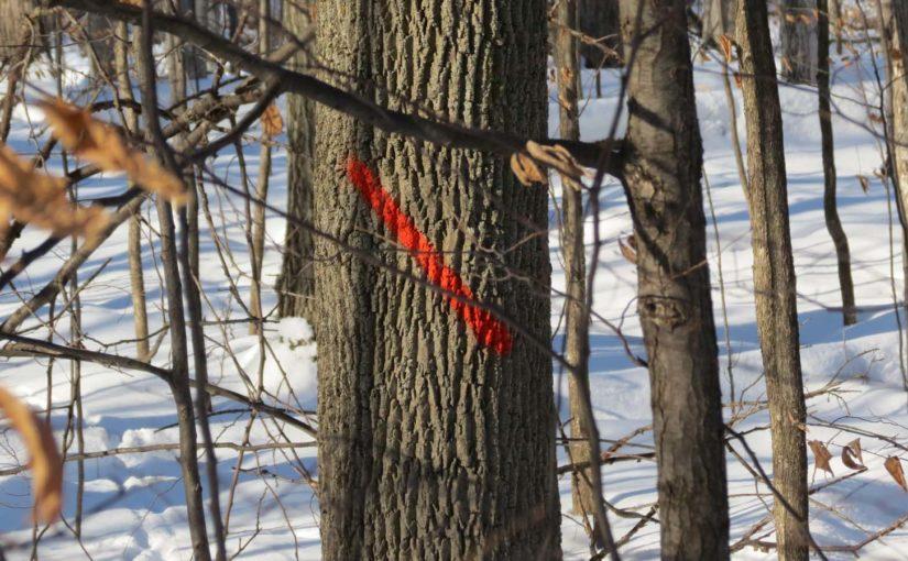 إدارة الرماد شجرة الغابات