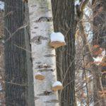 Abedul corteza de árbol