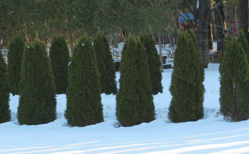 Cedar Tree Landscape