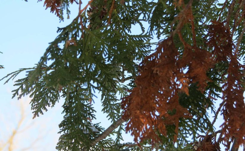 Cedar Tree New Leaves vs Dead