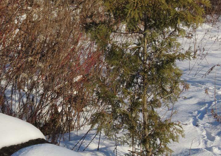 Type d'arbre de cèdre blanc