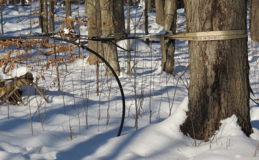 Maple Tree Syrup Line