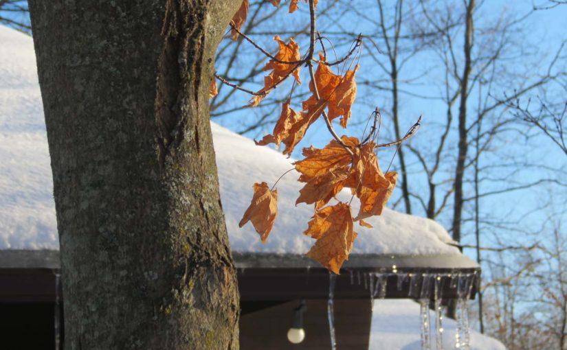 Érable en hiver