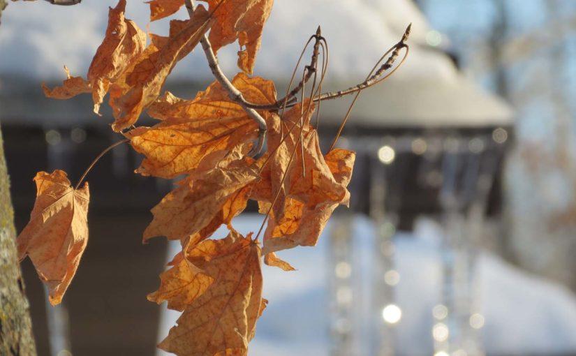 Maple Tree Winter