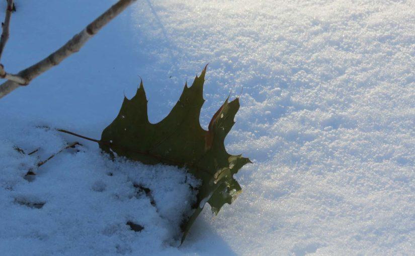 Oak Tree feuilles