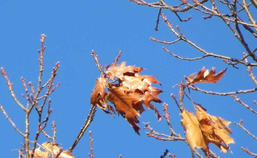 Oak Tree en hiver