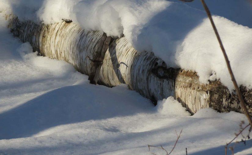 Viejo árbol de abedul caido