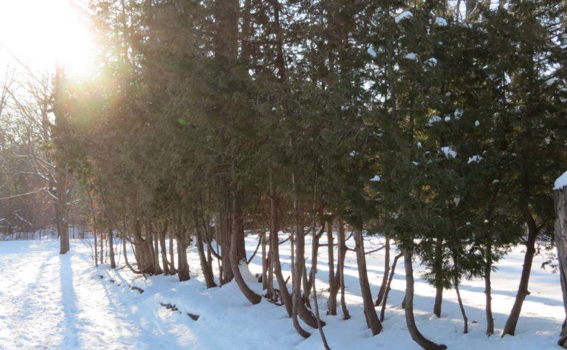 Rangée d'arbres de cèdre