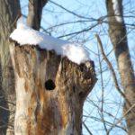 ثلجي شجرة القيقب
