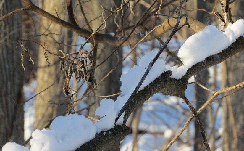 شاخه های پوشیده از برف درخت