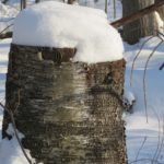 Birch Tee Stump en hiver