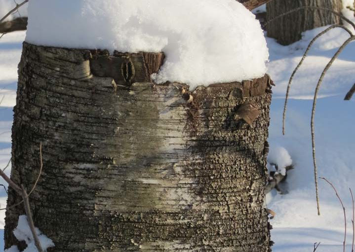 Birch Tree Stump