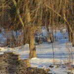 أشجار الصفصاف
