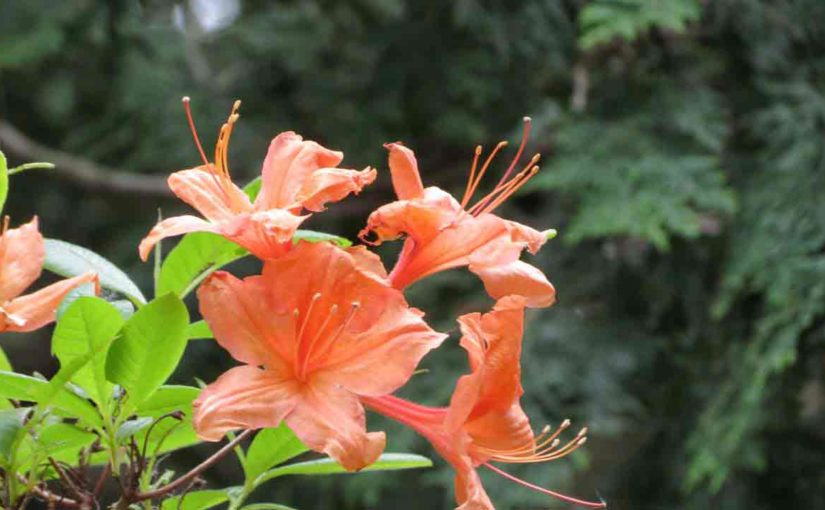 Azaleas Orange Flowers