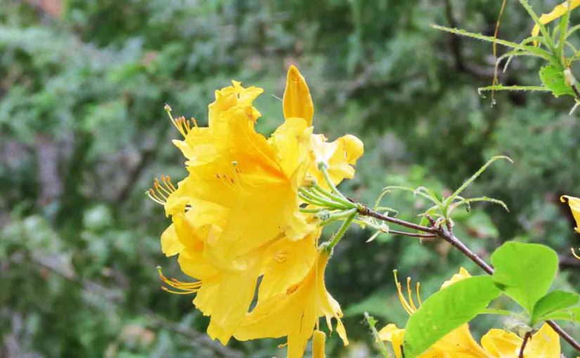 Azaleas Yellow Flower