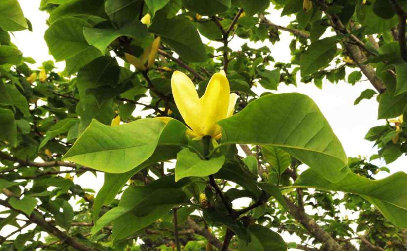 Magnoliaceae Yellow Bird Type of Magnolia