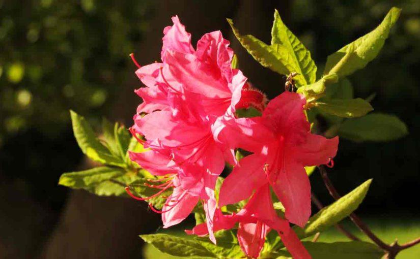 Azaleas, Red Flowers
