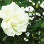 Flor de la rosa blanca