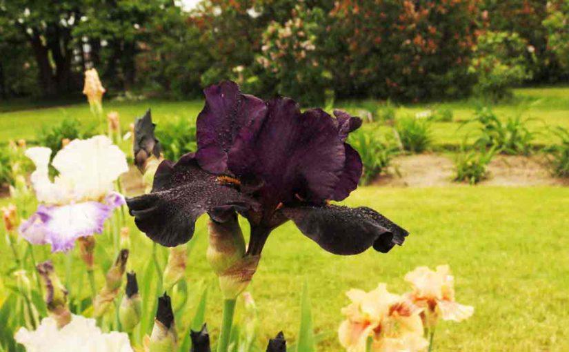 Iris Flower Dark Purple
