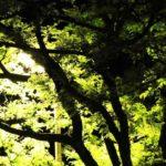 شجرة البلوط، الإجازات، إلى، نايت