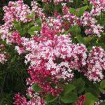 أرجواني، زود بعمود الزهرات القرنقلية المحقنة - فولغاريس