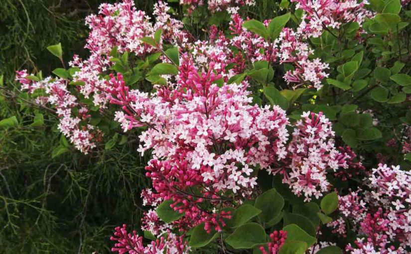 Lilac Tree Pink Flowers