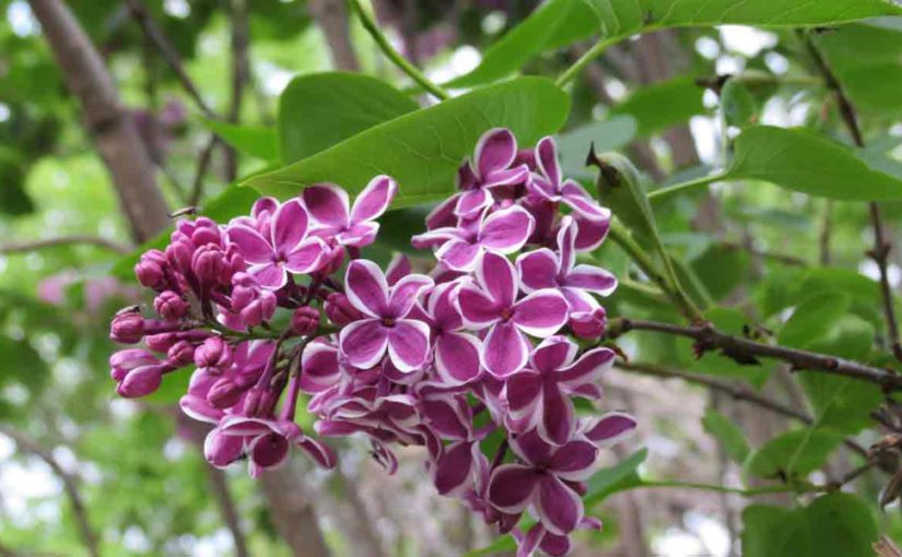 Lilac Tree with Purple Flowers