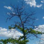 Maladies des arbres du criquet pèlerin