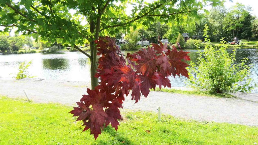 Bilde av en Silver Maple Tree
