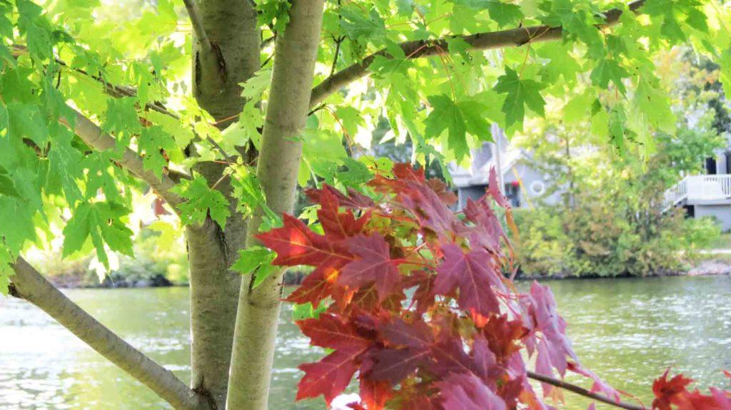 Image d'un arbre d'érable argenté qui tourne d'un beau rouge